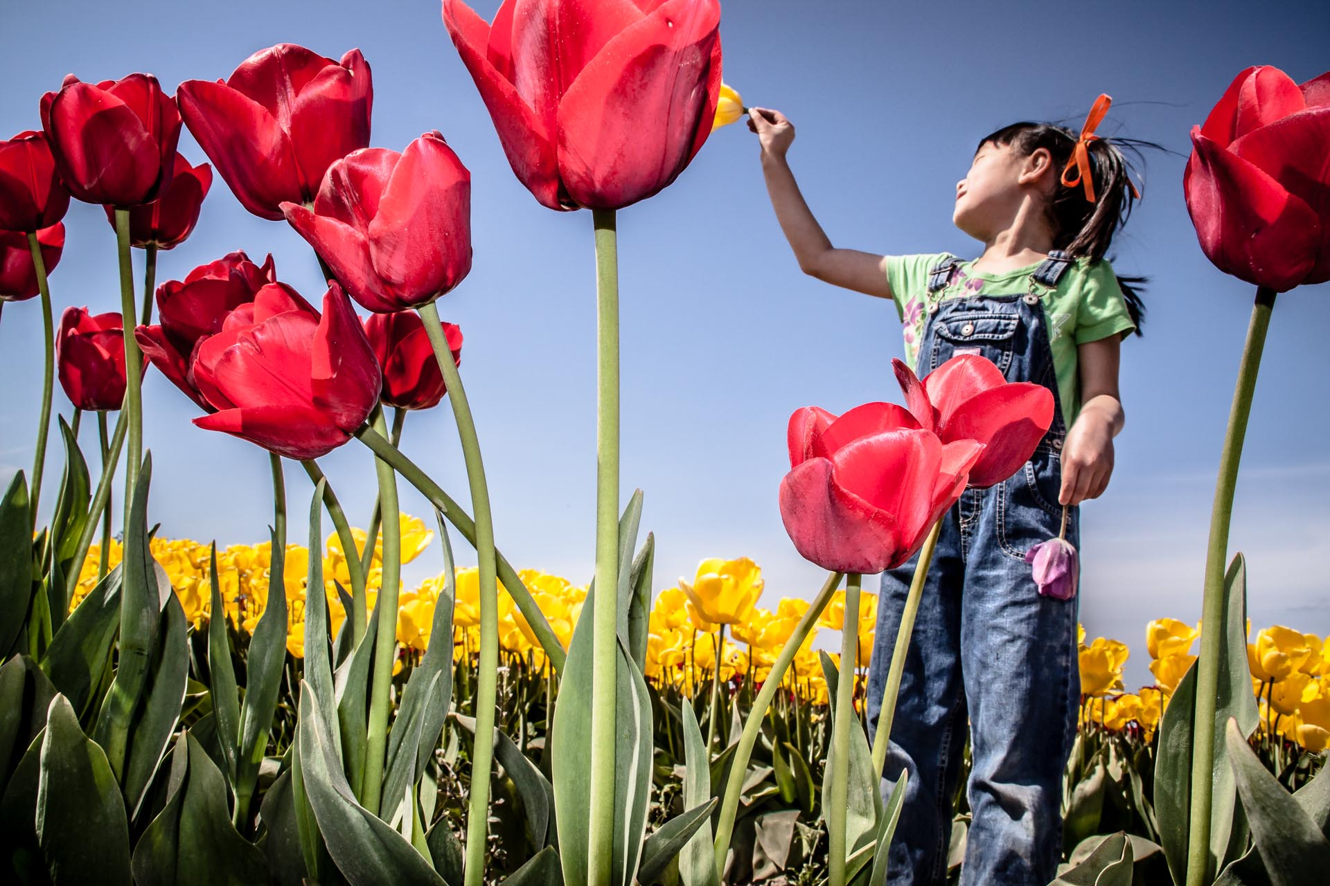 Child playing in tulip field Skagit County