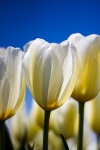 White Tulip with Blue Sky