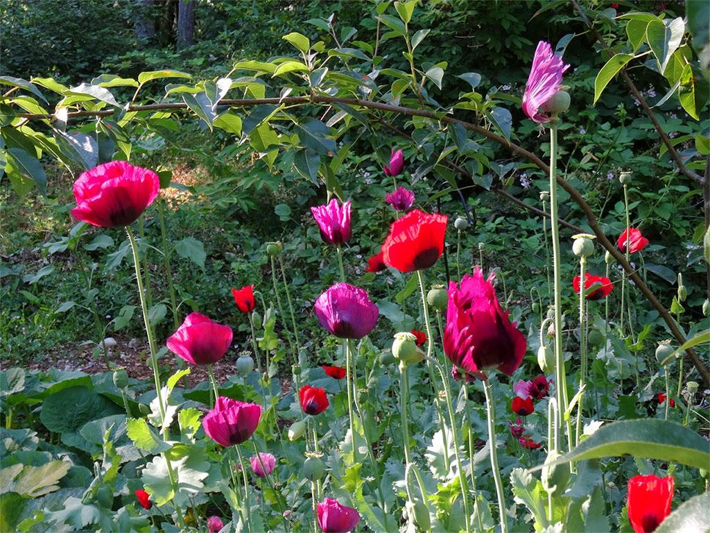 Opium Poppy in various colors